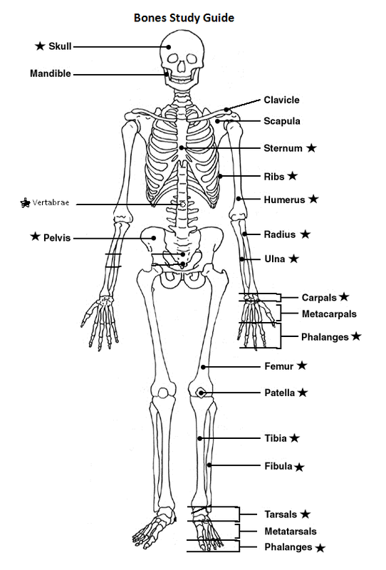 Human Skeleton Chart Diagram Picture Manual Guide